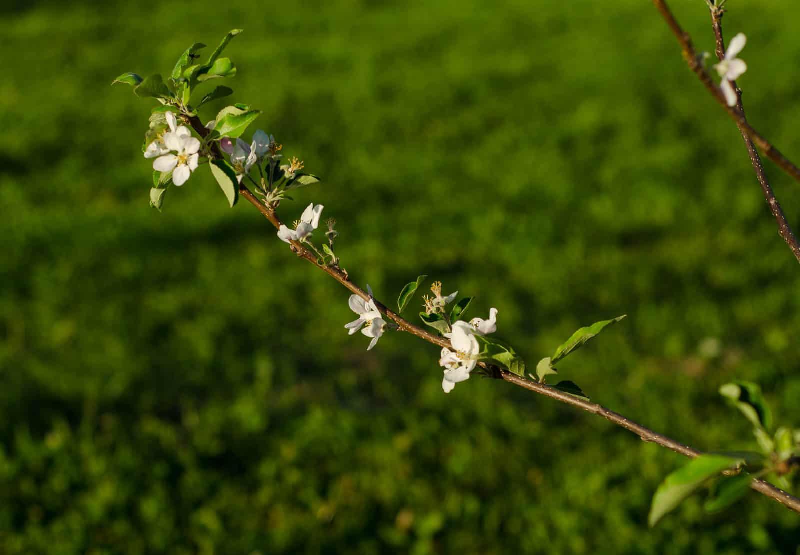 Äppelblom i juli känns inte helt naturligt. Men jag räknar med att träden har bättre koll på årstiderna nästa säsong.