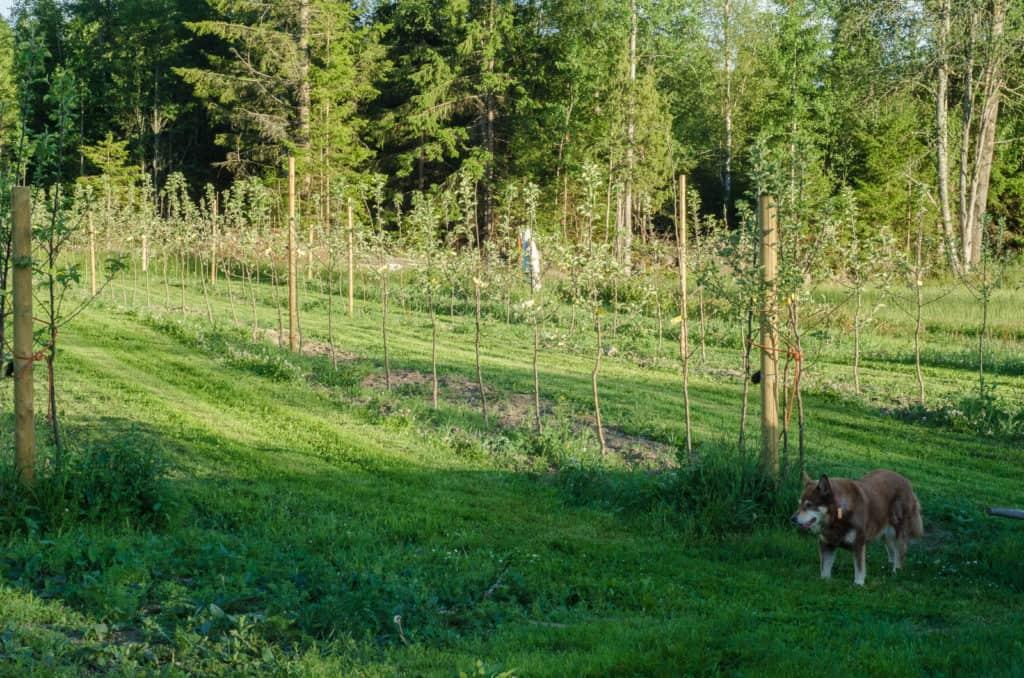Jag är nöjd med min äppelodling så långt. De flesta träden har slagit ut och de enstaka som är kvar visar i alla fall livstecken.