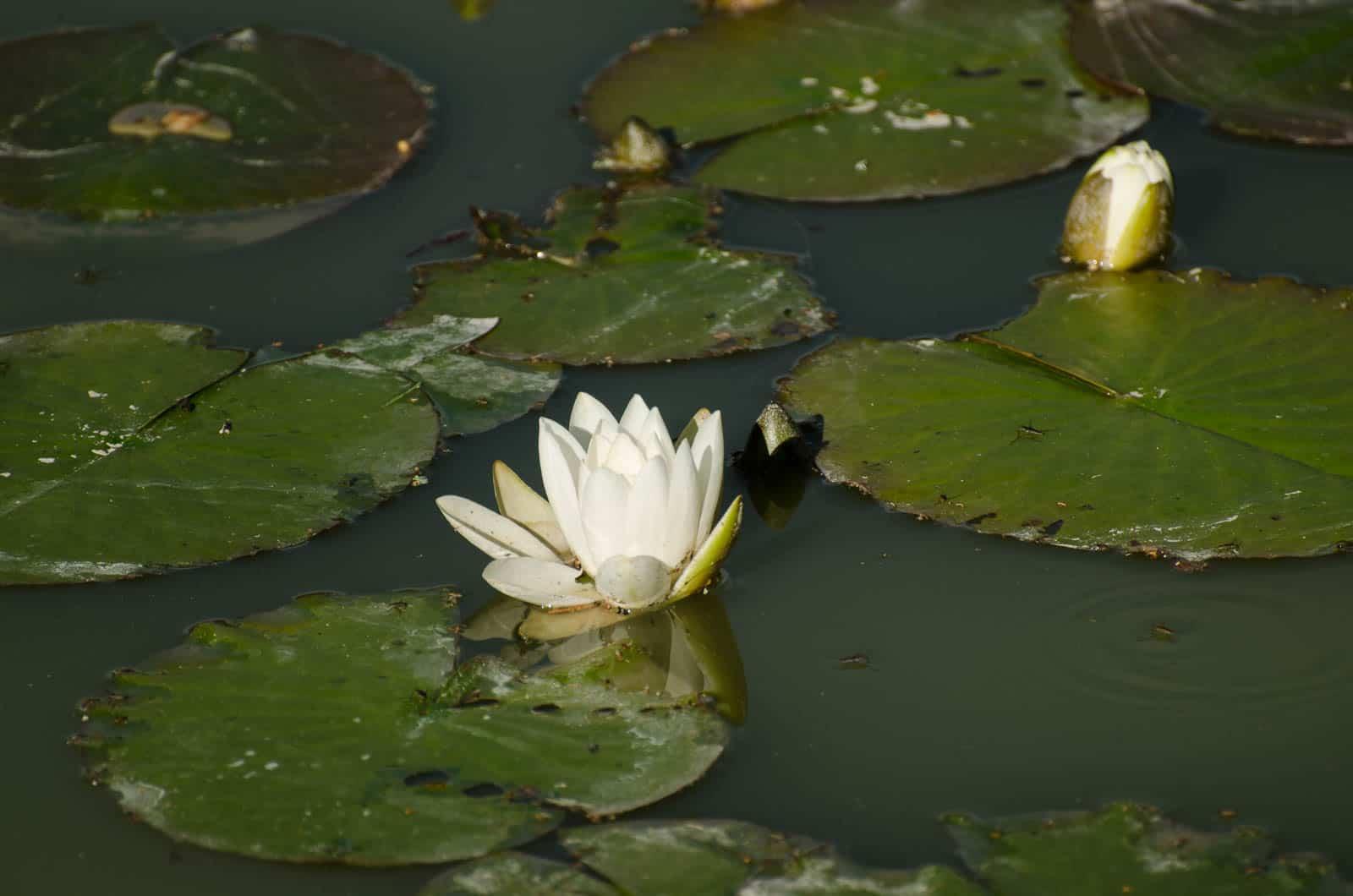 Näckrosor har en rogivande inverkan på mig. Jag blir glad av att se dem när jag sitter nere vid dammen.