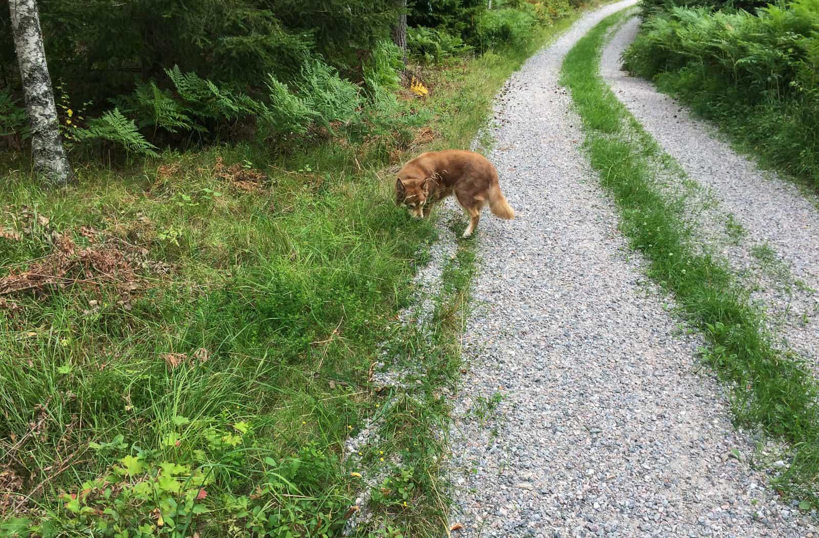 Morgon promenaden blev inte lång. Puman stannade och betade så jag fick gå själv. Hon brydde sig inte ens om att springa fram och skälla på grannarna – något som annars blivit en tradition.
