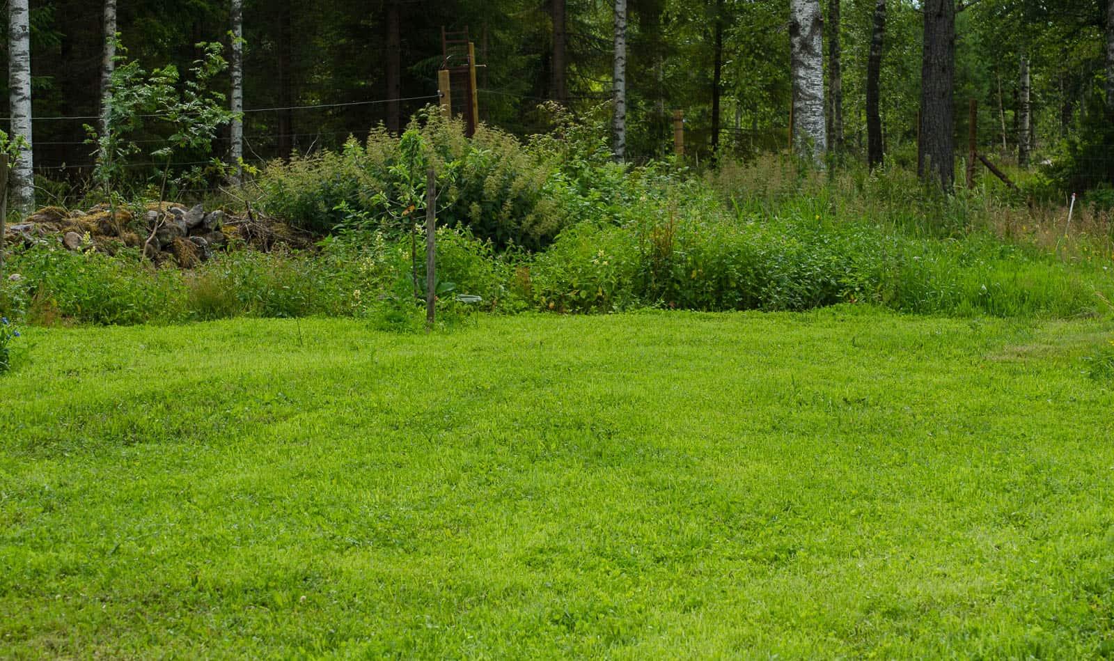 Så här tät och fin har den gräsmatta jag såtts i slutet av maj blivit. Enstaka ogräs sticker upp ibland – men de flesta gillar inte att bli klippta.