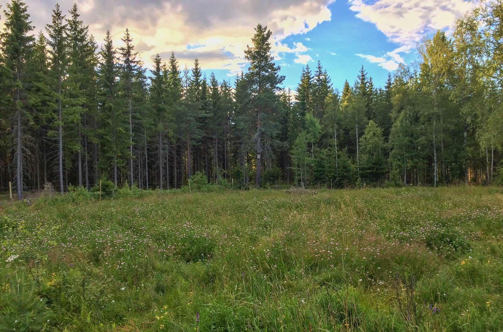 Holken sitter i den höga tallen i hörnet av ett stort fält. Milsvida skogar bakom. Hade jag varit kattuggla hade jag tyckt det skulle vara ett utmärkt alternativ.