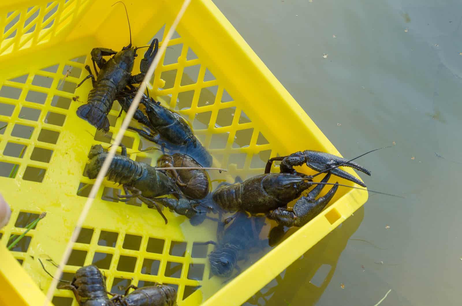 Efter vägning och mätning släppte jag tillbaka dem i dammen på samma plats som de fångats.