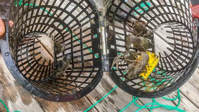 Årets första bur hade flera fina flodkräftor i ätstorlek. Och mitt kräftfiske kommer tat fortsätta ett par veckor till.