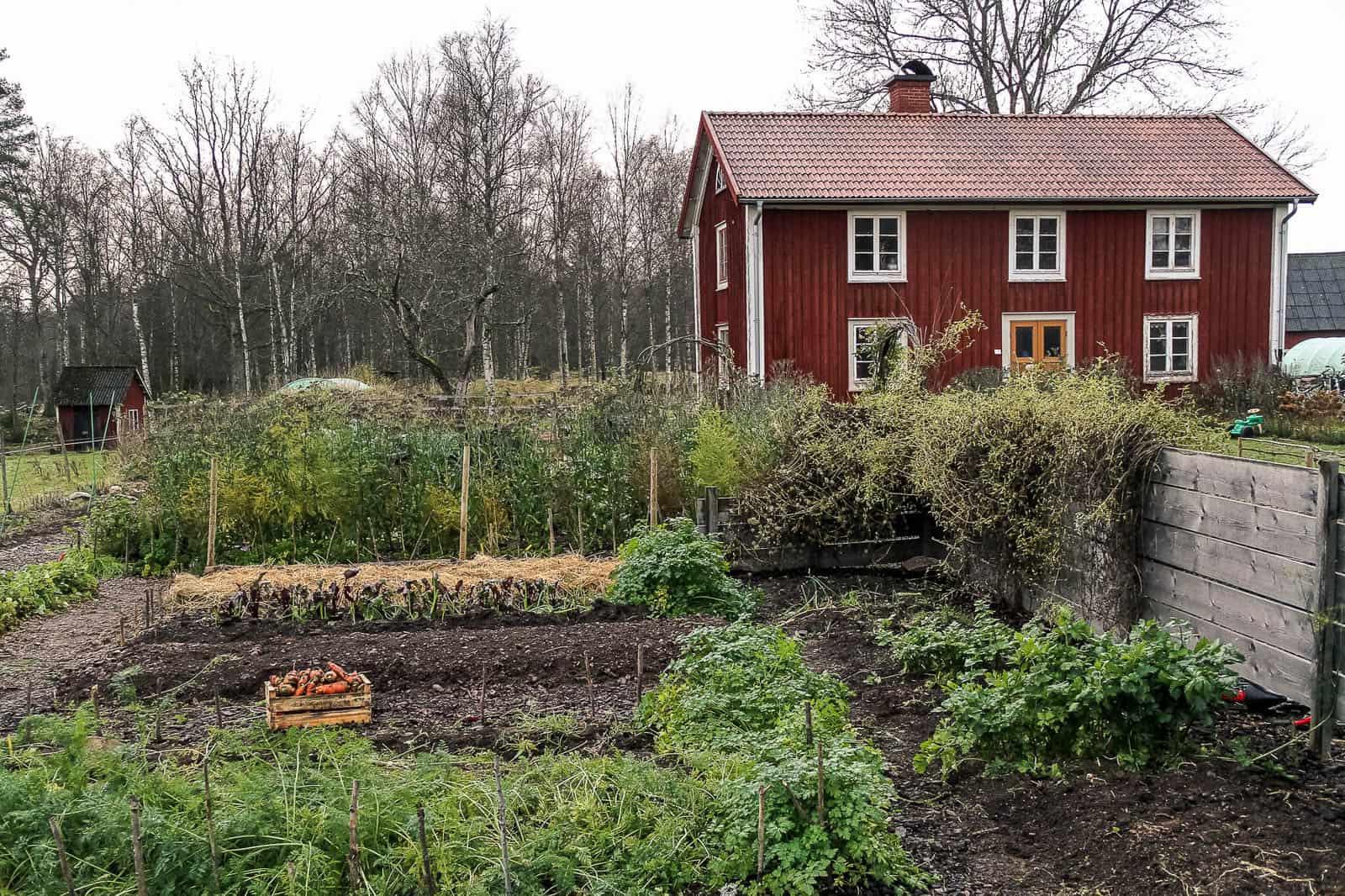 Med en flyktig blick skulle det här kunna vara hemma hos mig – men tittar man noga ser man att Sara Bäckmo har en annan nivå av organisation i grönsakslanden.