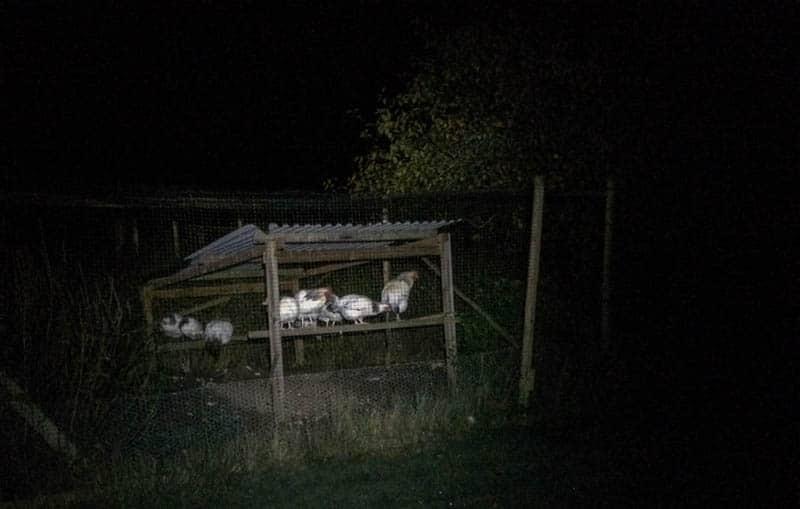 Igår natt valde hönsen att sova utomhus i lusthuset. Märkligt att de valde första frostnatten för en sån friluftsövning.