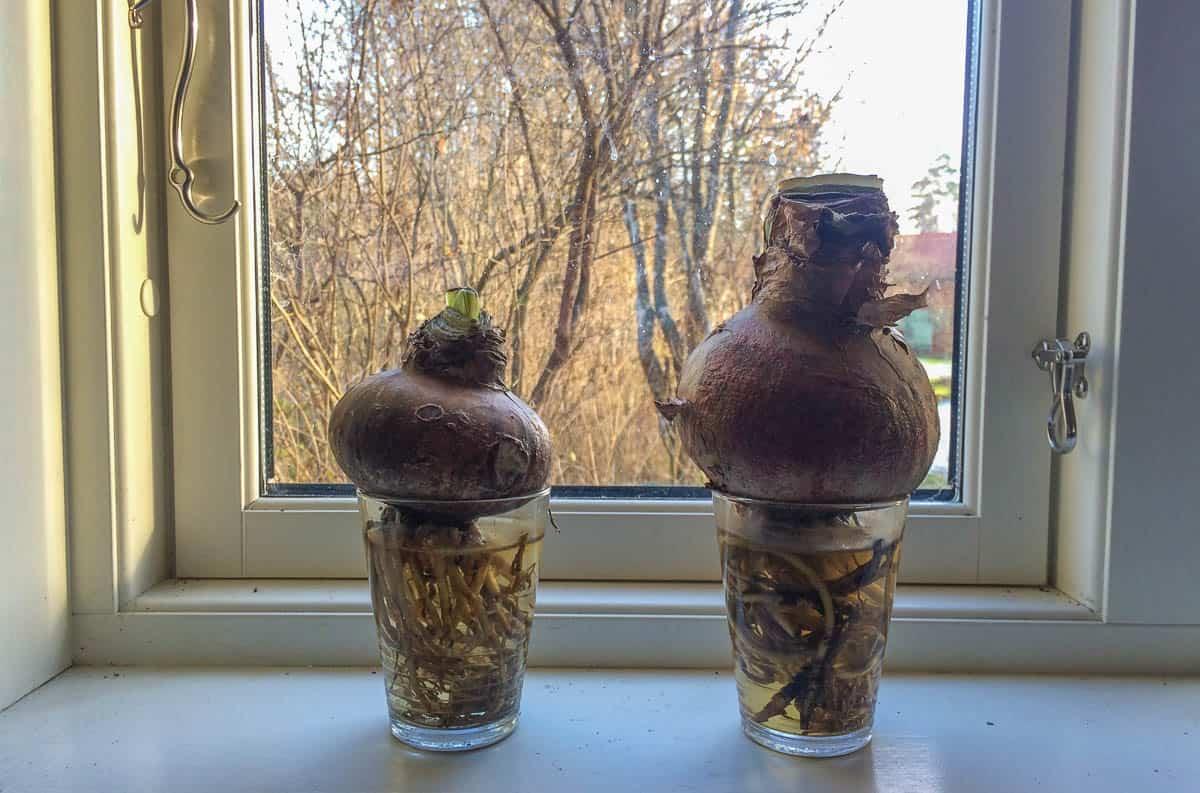 Ett dygn med rötterna i vatten får amaryllislöken att vakna till. men det är bara rötterna som ska vara i vattnet.