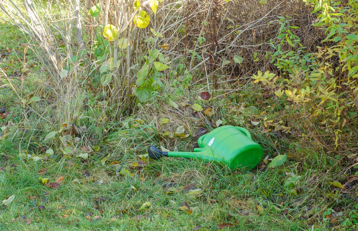 En kvarglömd vattenkanna. Jag kommer inte ens ihåg hur den hamnade här. Kanske var jag på väg till växthuset när telefonen ringde, hunden började skälla eller det kom besök. Nu är den återfunnen i alla fall.