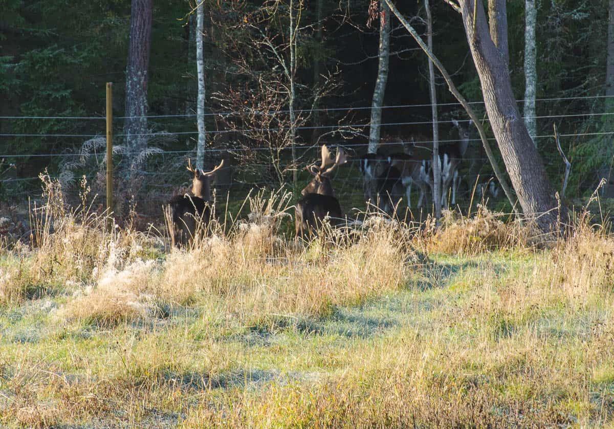 Hjortarna har hittat vägar in trots all stängsling. Här använder de ett skogsdike som passage. De trädstammar jag lagt tvärs över diket lyckas de på något sätt knuffa undan.