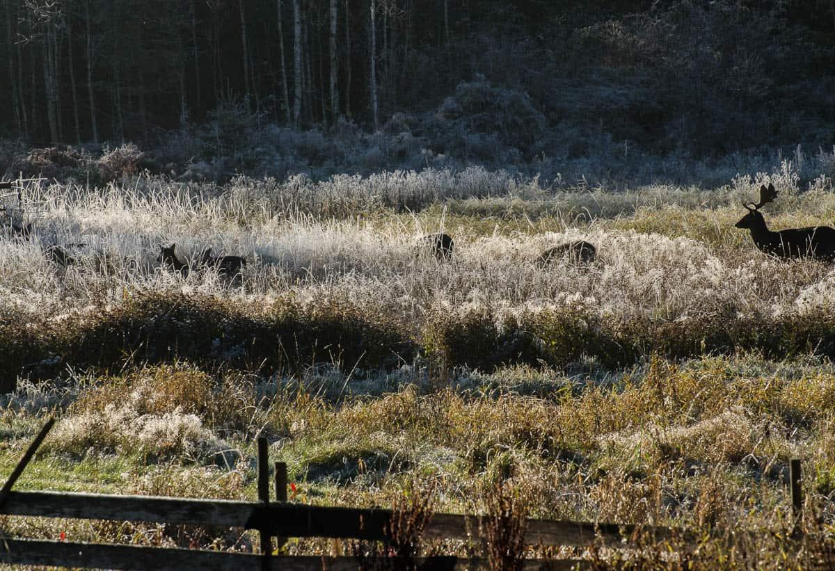 Egentligen ingen välkonen syn – men det är ändå rätt vackert med hjortar i det frostiga gräset.