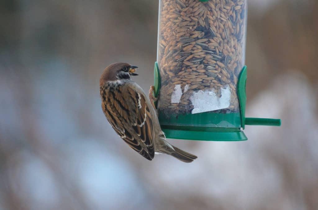Pilfinken höll sig borta under fågelräkningen men brukar besöka mig regelbundet.