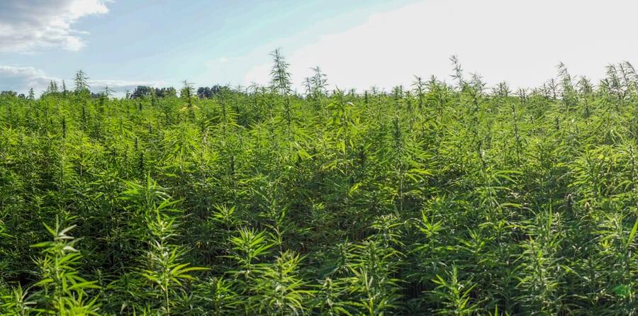 Ett fält med hampa – och det är lagligt att odla cannabis om två villkor är uppfyllda.