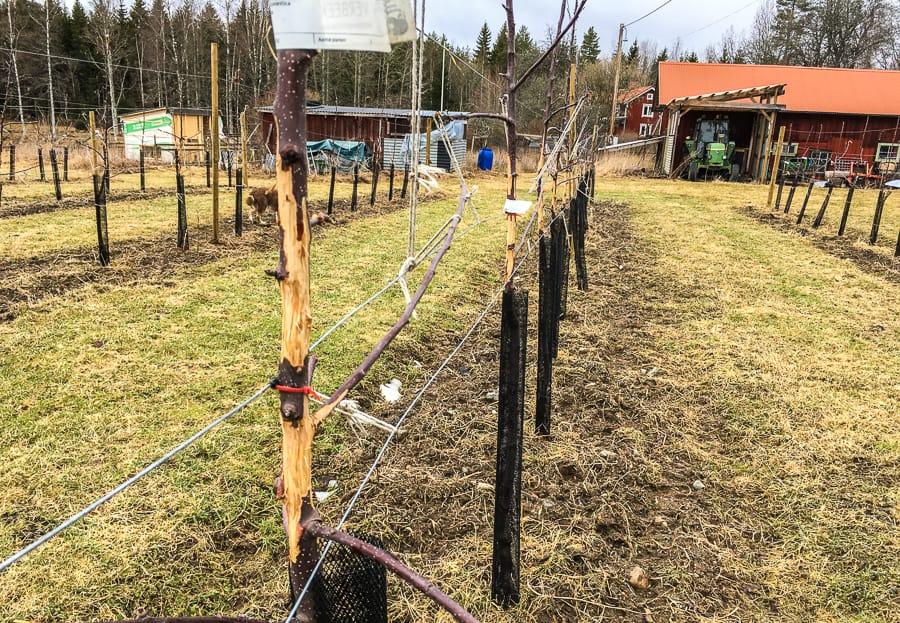 Av mina närmare 200 äppelträd har alla blivit skadade av hjortar och rådjur. En del kanske överlever – men allt för många har blivit ringbarkade.