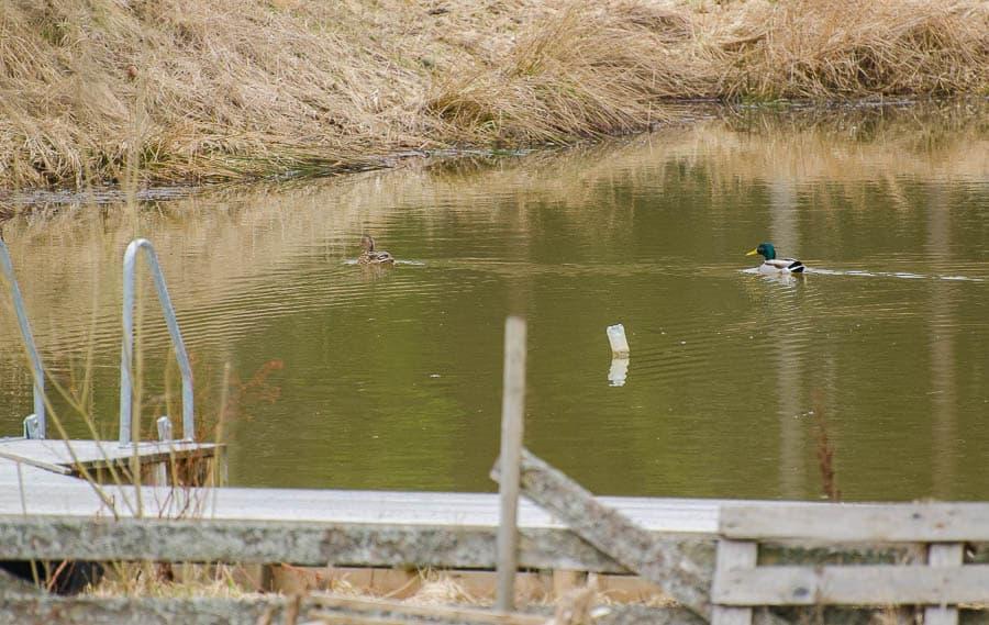 Årets gräsänder har anlänt till dammen. Jag misstänker att det är samma hane som återvänder varje år – och byter ut honorna allt eftersom de blir uppätna.