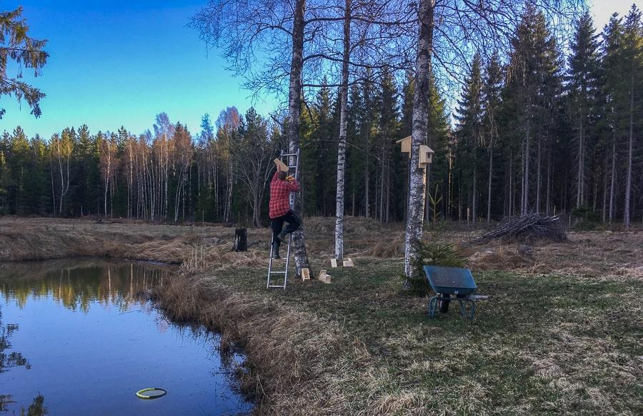 Jag sätter i snitt två holkar i varje träd. Höjden bestäms av stegens längd och väderstrecket så att jag ser holken från huset.