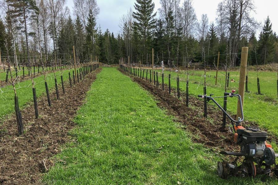 Genom att fräsa längs med raderna håller jag jorden öppen och äppelträden kan växa utan större konkurrens från ogräs.