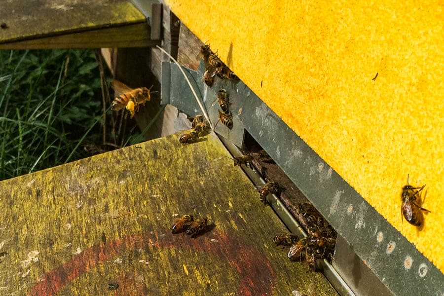Senvåren har varit utmärkt för bina och mitt överlevande samhälle har vuxit sig stark – så idag gjorde jag en avläggare.