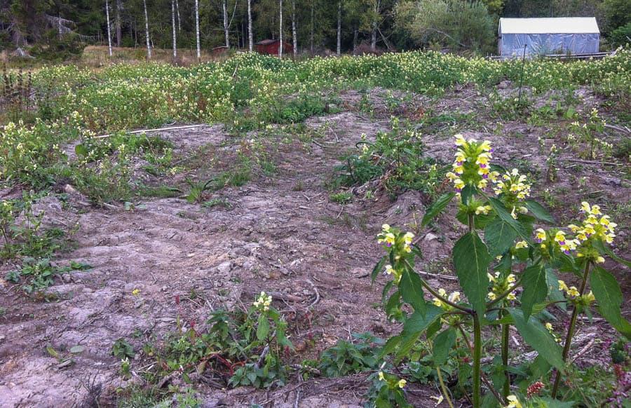 Hampdån är det enda frö ogräset på mina marker som jag upplevt som besvärligt. Men efter regelbunden bearbetning ser jag den inte längre som ett problem.