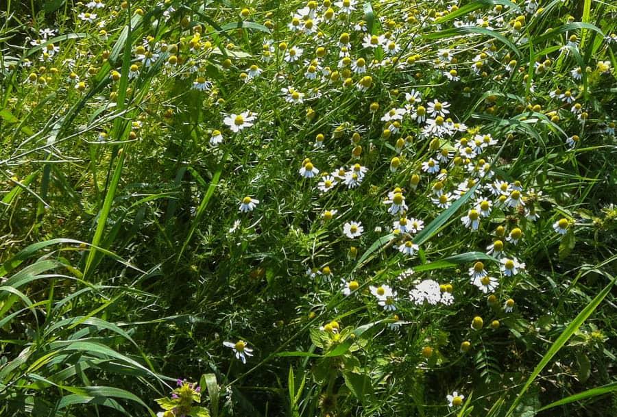 Kamomill är en riktigt vacker och väldoftande blomma men om den får föröka sig fritt blir den ett ogräs.