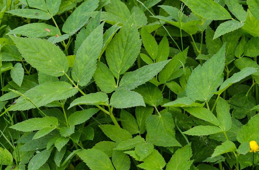 Kirskål eller kärs är ett ogräs som de flesta känner igen. Tar ofta över bortglömda partier i trädgården.