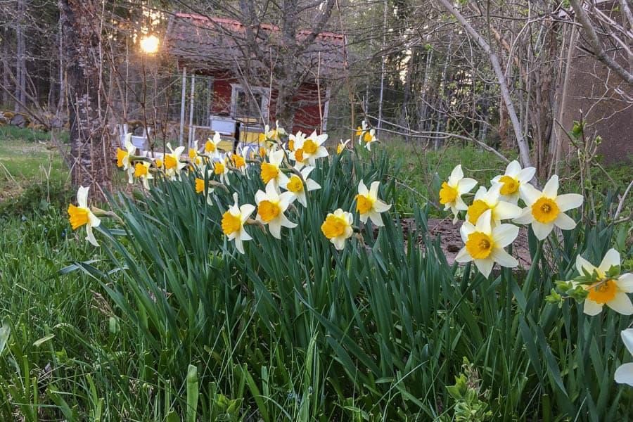 Vårblommorna – som de här narcisserna – är de fräschaste. Inget överdåd, men de håller med mig om att maj är årets bästa månad.