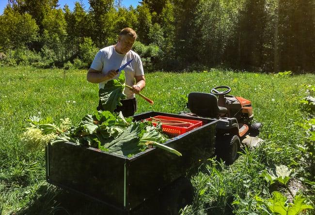 När jag ska skörda rabarber använder jag trädgårdstraktorn, en kniv och ett par plastbackar. Ett hugg tar bort bladet, sen skrapar jag bort den döda blasten närmast roten. Numera tar jag bort bladen från odlingen för att minska risken för sjukdomar.