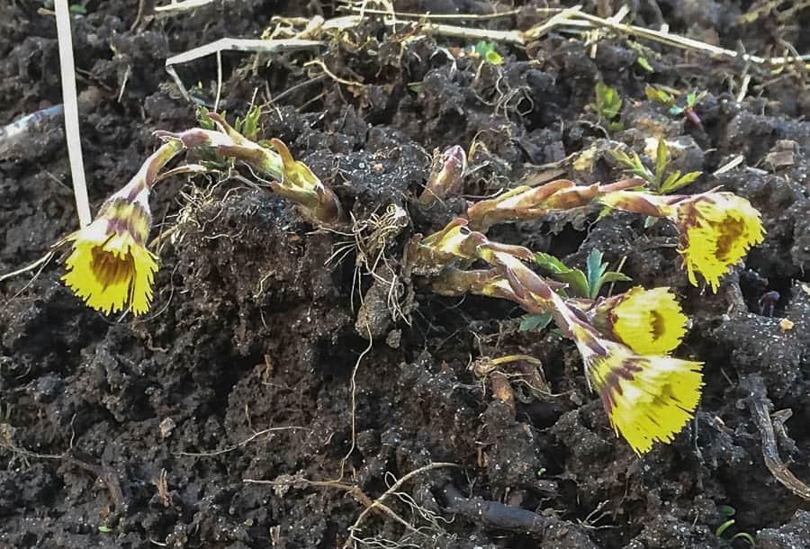 Tussilagon är ett klassiskt vårtecken – och ett tidigt ogräs. Bara att ge sig ut och plocka.