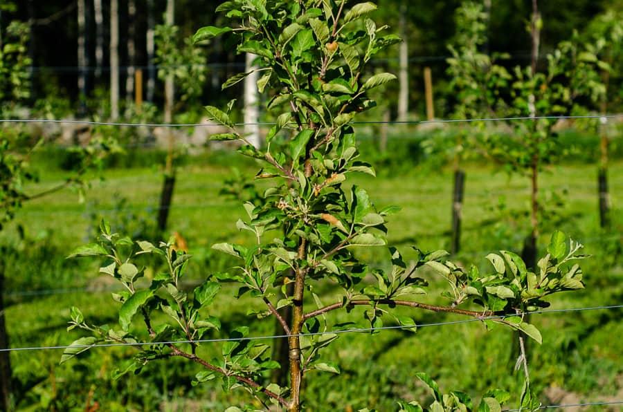 Trots svåra skador veckar de flesta träden komma bra och jag hottar en hel del kart på dem. Här ett Rubinola.