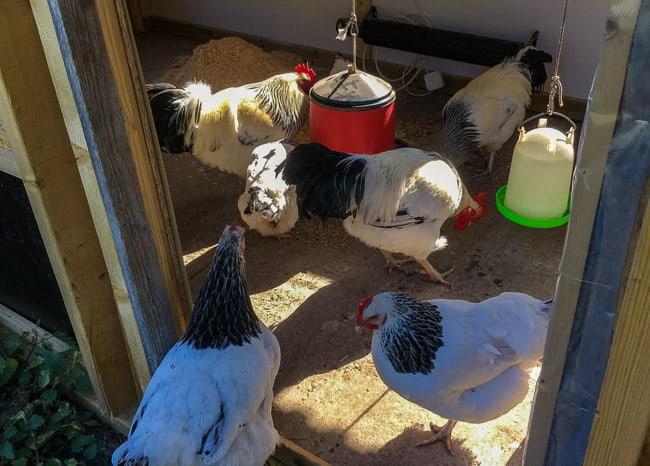 Majoriteten av flocken har redan vant sig vid nya hönshuset och travar in utan att tveka.