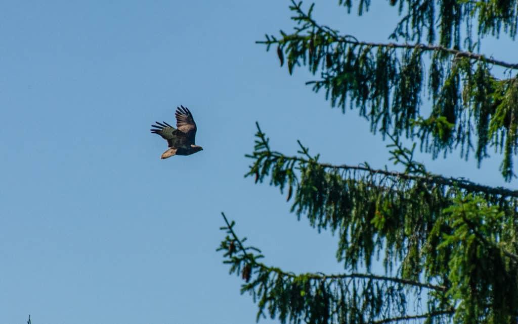 Ibland ser jag någon spännande fågel passera över gärdena utanför fönstret. Då gäller det att vara snabb med kameran innan de cirklar vidare över skogen.