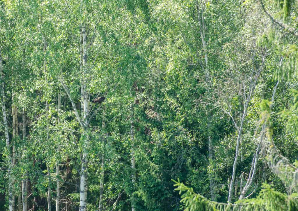 Den här gången slog sig vår ormvråk ner i en björk – är du skarpsynt nog att hitta henne?