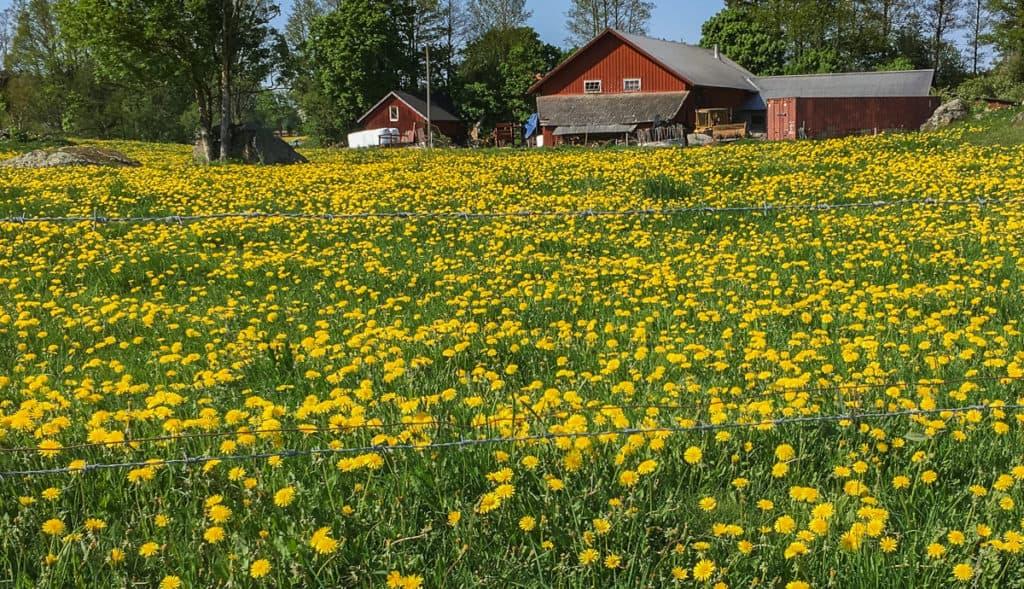 Maskrosen känner vi alla till – enklast är att acceptera den som en naturligt inslag i gräset.