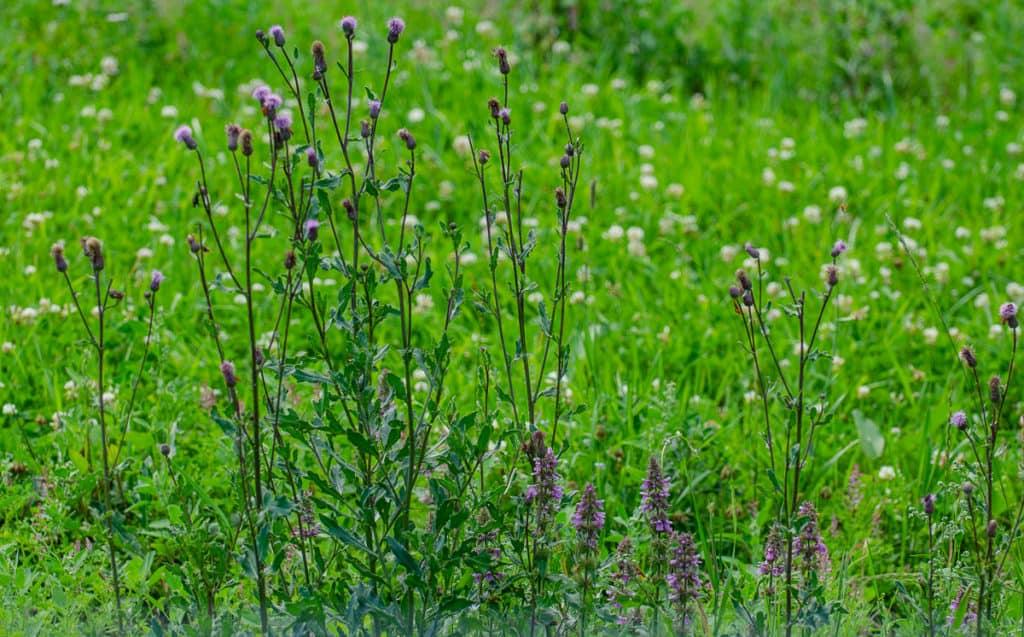 Tistlar kan vara ett riktigt besvärligt ogräs på åkermark. I trädgården är den mer lätthanterlig.
