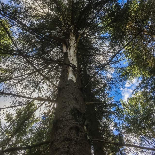 Barken är sprucken längs hela trädets nordsida och högra upp har blixten slagit ur långa splitter ur stammen.