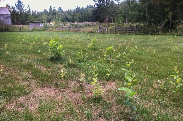 Gräset är uttorkat på sina ställen men aspskotten frodas. Synd bara att det inte är nyttigare träd.