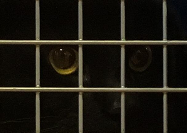 Numera är det inte bara kärlek i blicken från den här katten. Han kan å andra sidan inte förstå varför jag utsätter honom för det här.