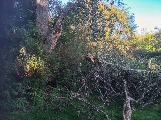 Förra helgen rasade två tunga grenar i backen. Tyngt av päron och regnvatten orkade trädet inte längre.