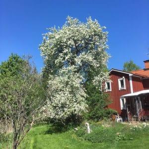 Kommer att sakna den enorma blomningen i maj varje år, och jag tror att insekterna kommer att göra det också.