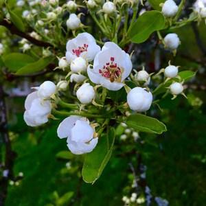 Tycker att päronblommorna är fantastiskt vackra även om de bara existerar någon vecka varje år innan de försvinner i ett vitt regn som en vårlig snöstorm.