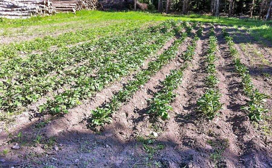 Ett sätt att förbereda sig är att lära sig grundläggande överlevnadsknep – som att odla potatis.