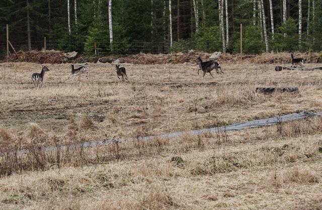 Resultatet av stängslingen hittills är att jag har grupper om fem-sex hjortar inne på gården nattetid. Mot det dubbla innan jag satte upp stängslet.