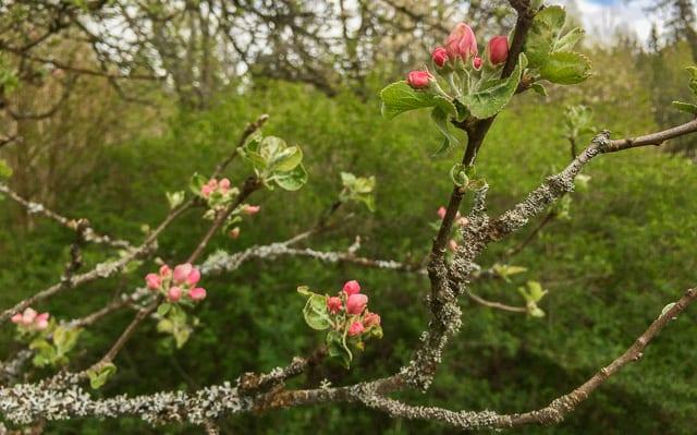 De tidiga äppelblommorna är på väg att slå ut men jag hoppas att de håller sig tills den värsta nattfrosten är över.