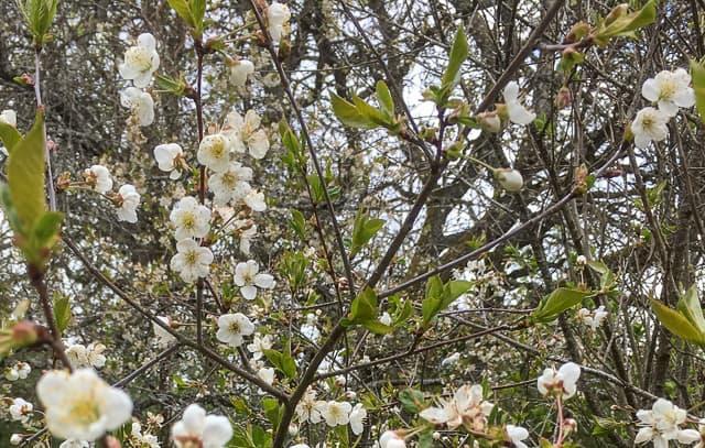 Körsbärsträden har redan blommat ett tag – men förgäves eftersom kylan hindrat de bästa pollinatörerna från att flyga. Frosten har också slagit ut en del av blommorna.