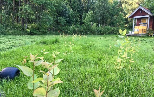 En bortglömd gräsmatta är lovligt byte för naturen. Förutom högt gräs så kan det dyka upp sly redan efter några veckor. Vänta några år och du har fått en skog istället.