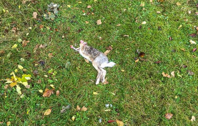 Du kanske blir upprörd över bilden – i så fall är det för att pälsen fortfarande är kvar. När pälsen är borta är det inte längre en hare utan huvud, utan mat.
